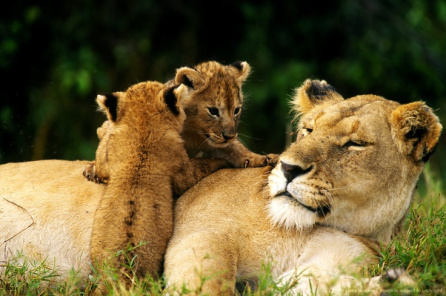 ezek19-lioness-cubs
